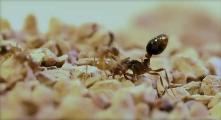 Crazy ants learn to neutralize fire ants' deadly venom